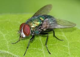 7 mosche e moscerini